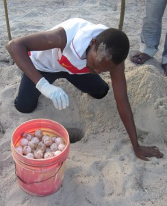 Mgaza reloacating sea turtle eggs
